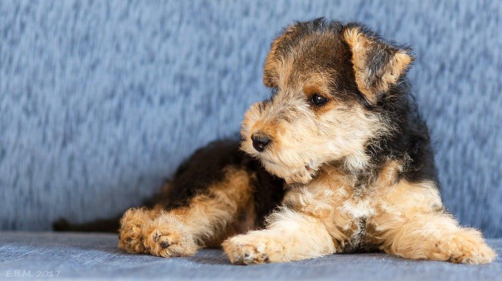 О собаках породы лейкленд